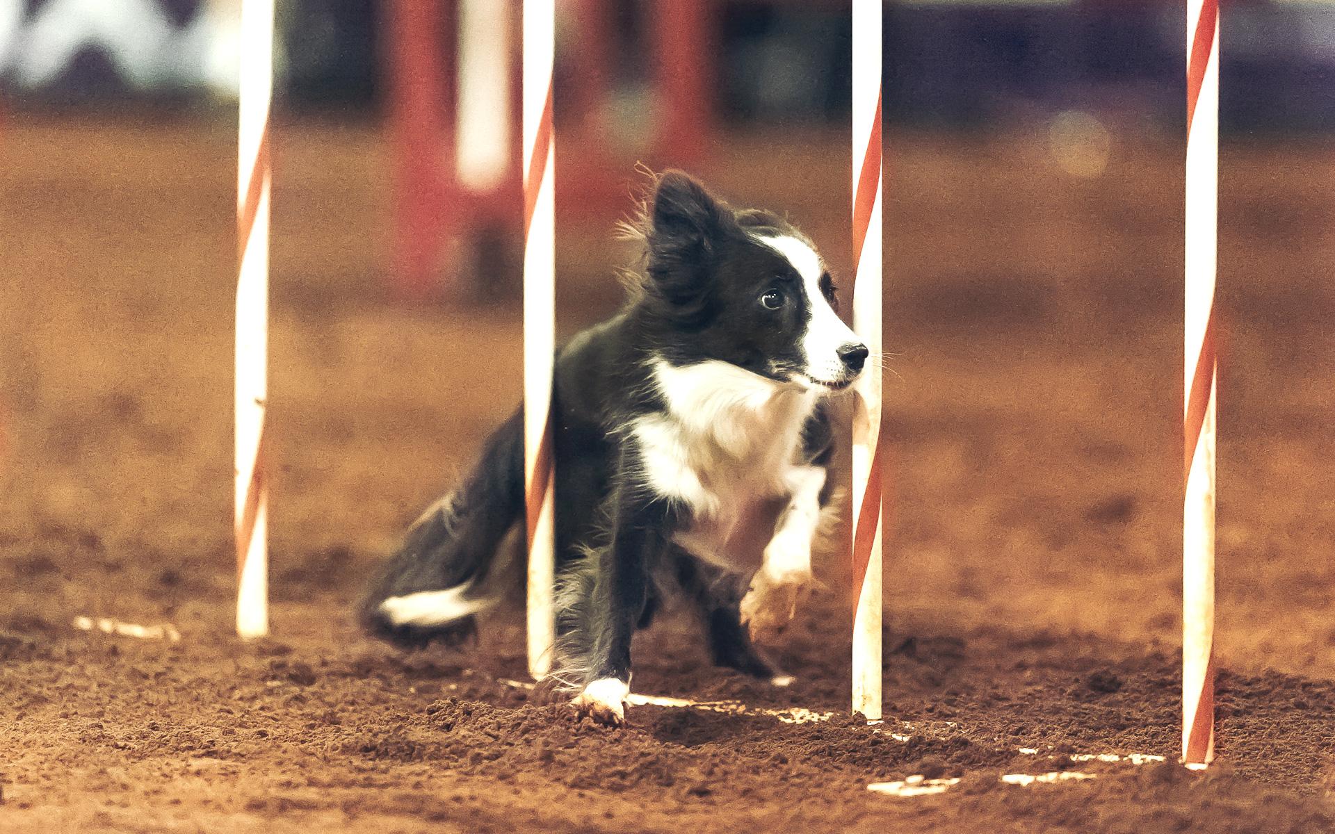 Dog Agility Course Long Island